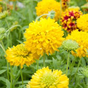 Variétés vivaces Gaillardia pulchella 'Yellow Plume'