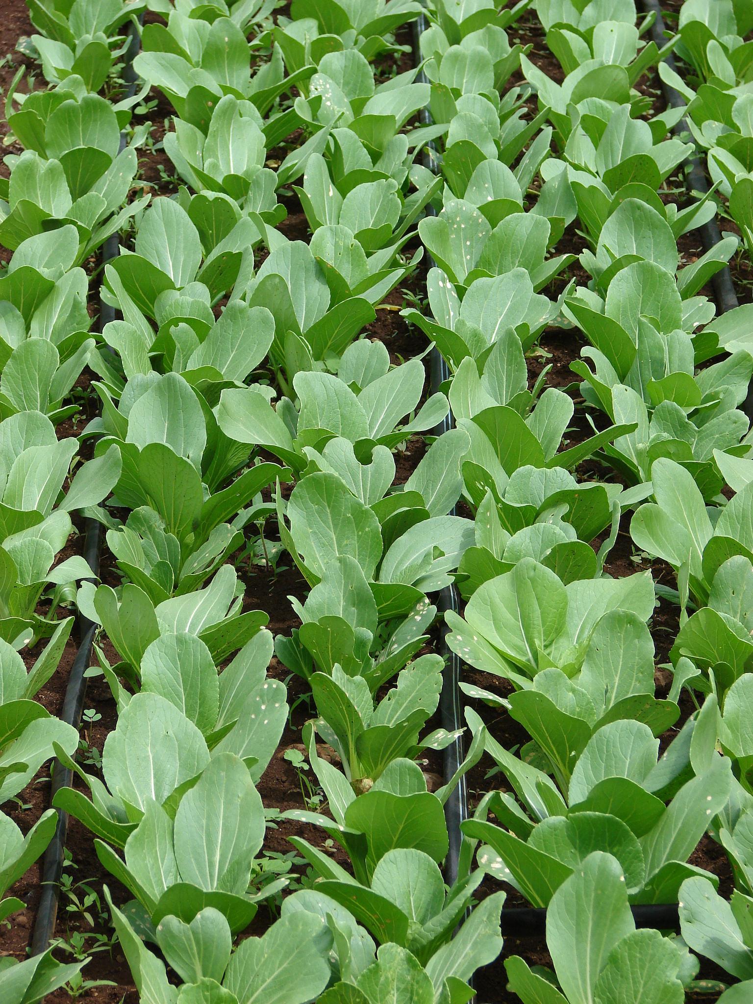 Mizuna semer et cultiver ooreka for Entretien persil jardin