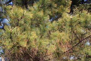 Plantation du pin des marais
