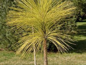 Culture et entretien de <em>Pinus palustris</em>