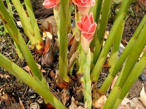 Plantation du gingembre mioga