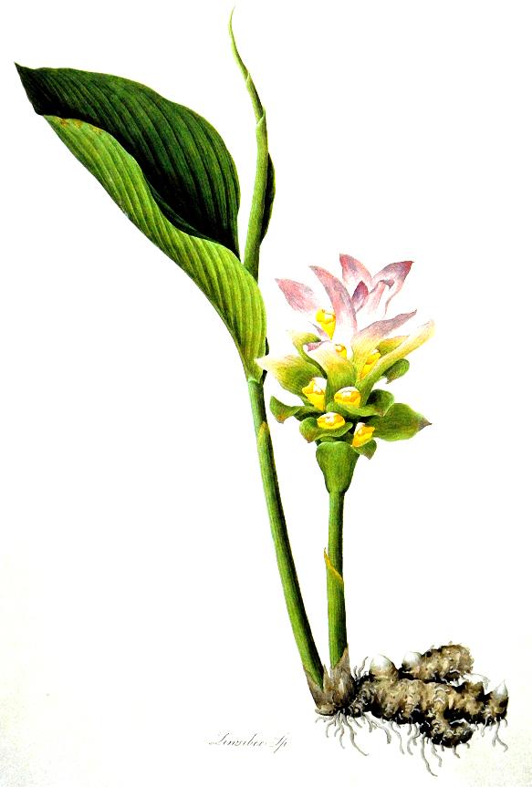 Gingembre planter et cultiver ooreka for Plante zanzibar