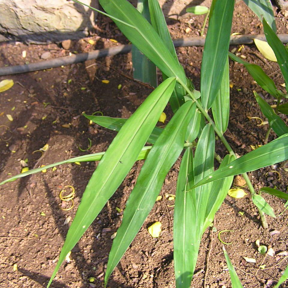 planter un gingembre