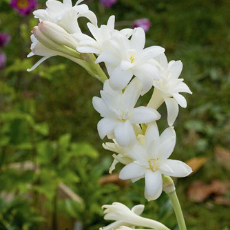 Tubéreuse (Polianthes tuberosa) 'La Perle' ou 'The Pearl'