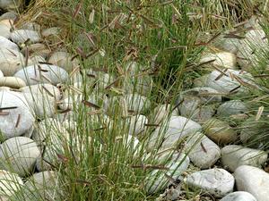 Multiplication de <em>Bouteloua gracilis</em>