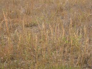 Semis et plantation de <em>Bouteloua gracilis</em>