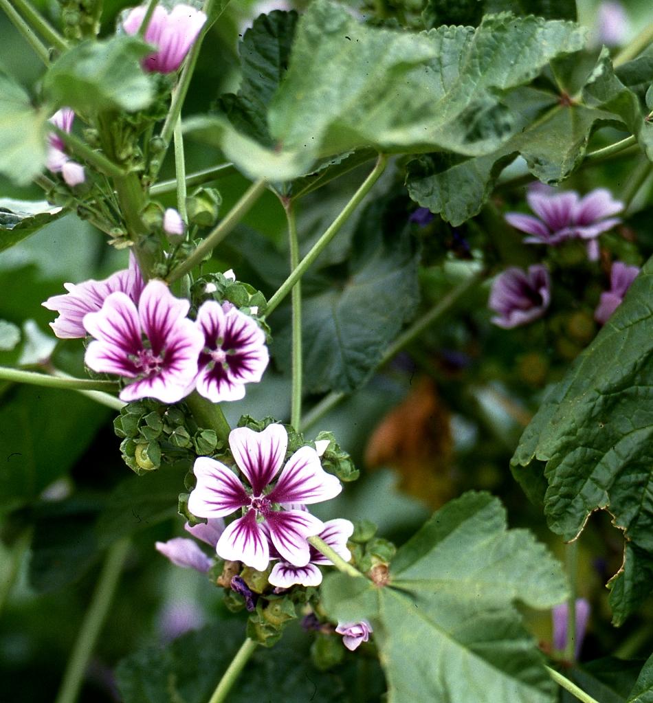 Guimauve planter et r colter ooreka - Association plantes aromatiques entre elles ...