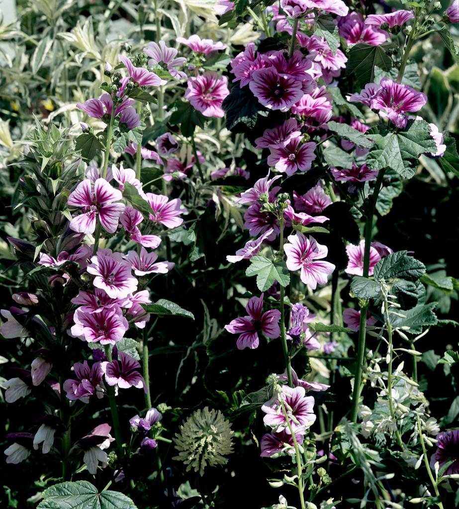 Guimauve planter et r colter ooreka for Plante ornementale des jardins