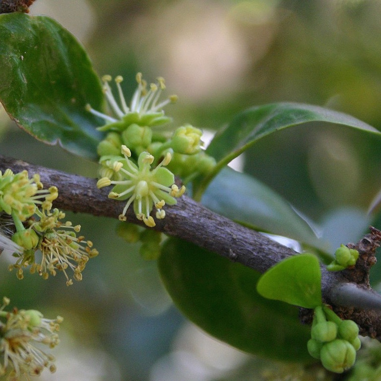 Pomme de Kei, pomme caffre (Dovyalis caffra, syn. Aberia c., A. edulis, noms locaux: Kei apple, kaiyaba)