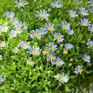 Félicia, Pâquerette du Cap, Marguerite du Cap, Aster du Cap (Felicia amelloides) 'Blue Star'