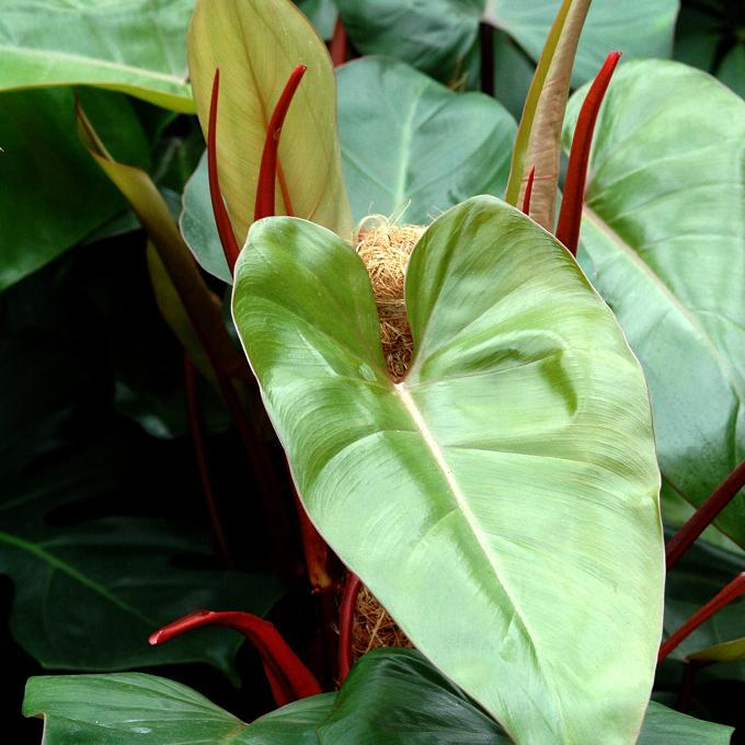 Philodendron roux (Philodendron erubescens) 'Burgundy'