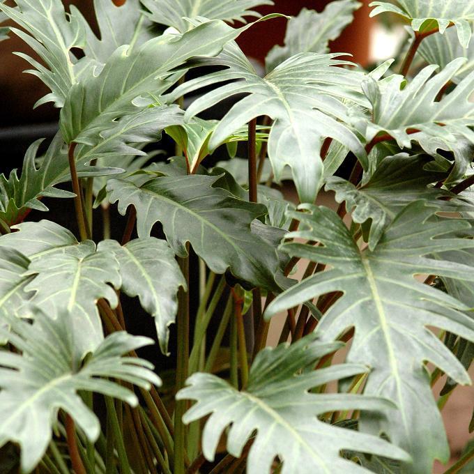 Philodendron selloum ou Philodendron bipinnatifidum 'Xanadu'