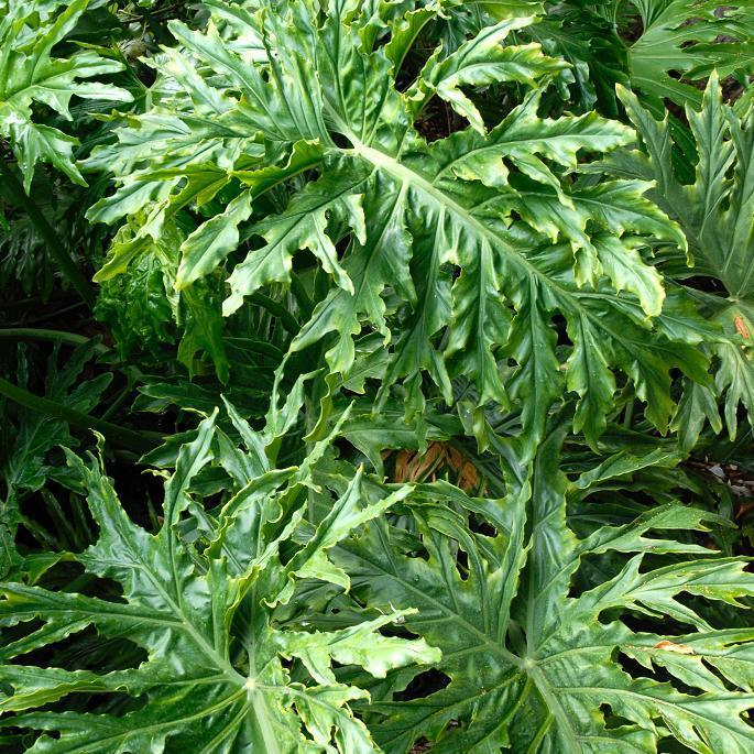 Philodendron selloum ou Philodendron bipinnatifidum Espèce type