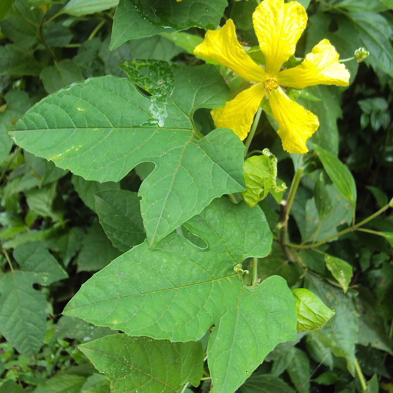 Golkandra (Momordica dioica)