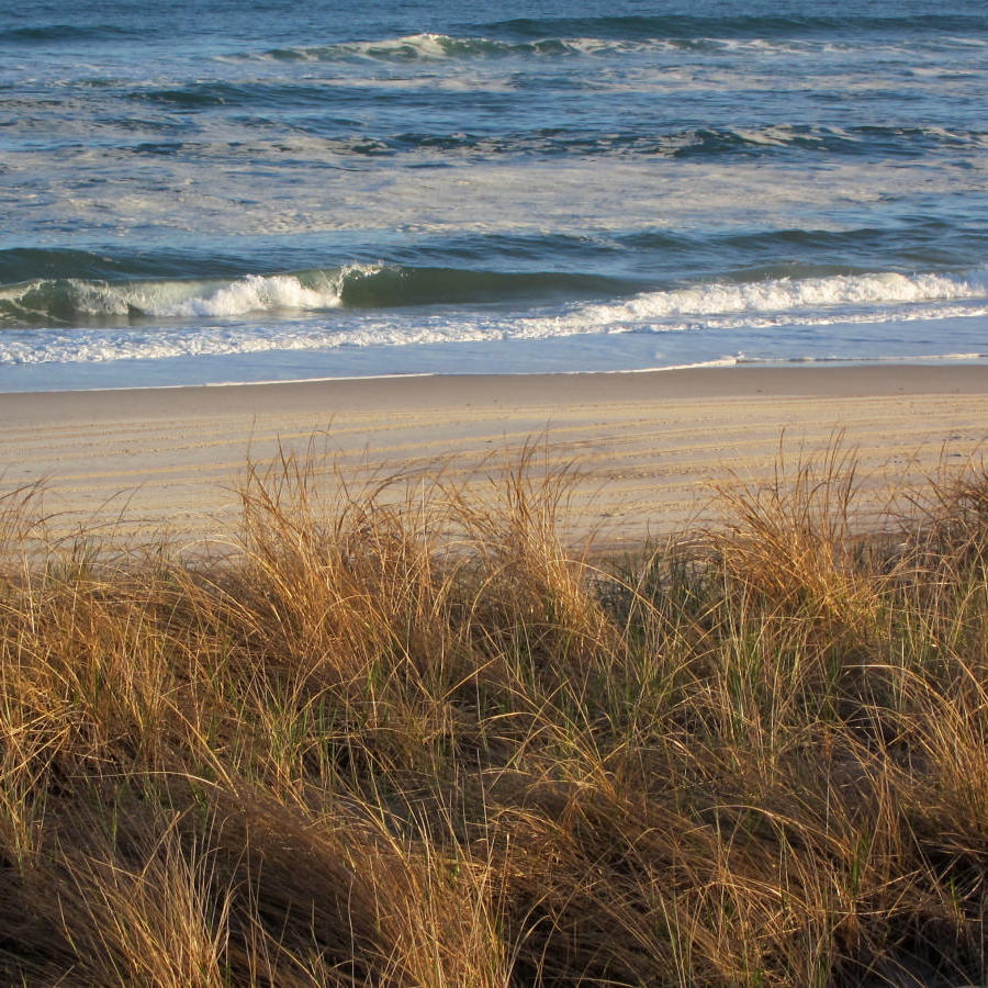 Oyat ou herbe des dunes (Ammophila breviligulata)