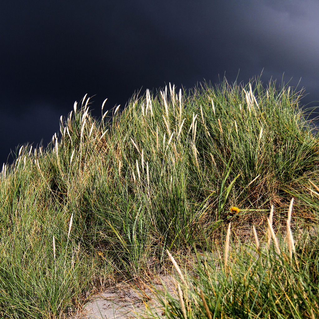 Oyat, roseau des sables (Ammophila arenaria)