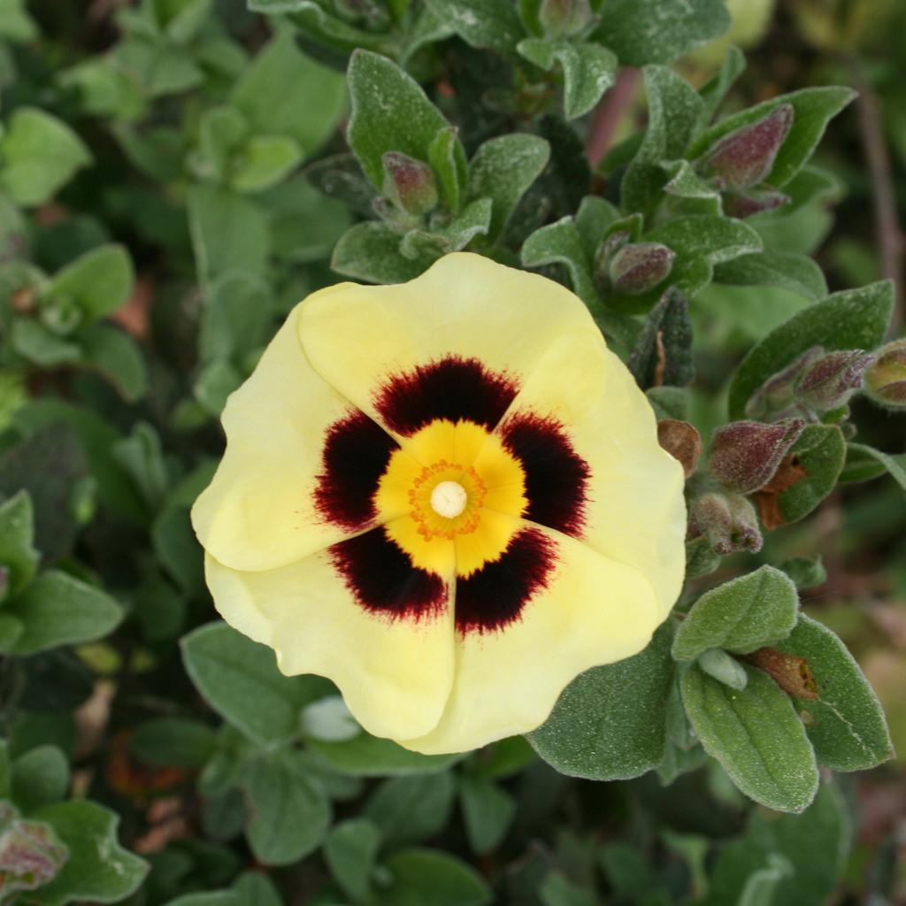 Halimiocistus wintonensis 'Merrist Wood Cream'