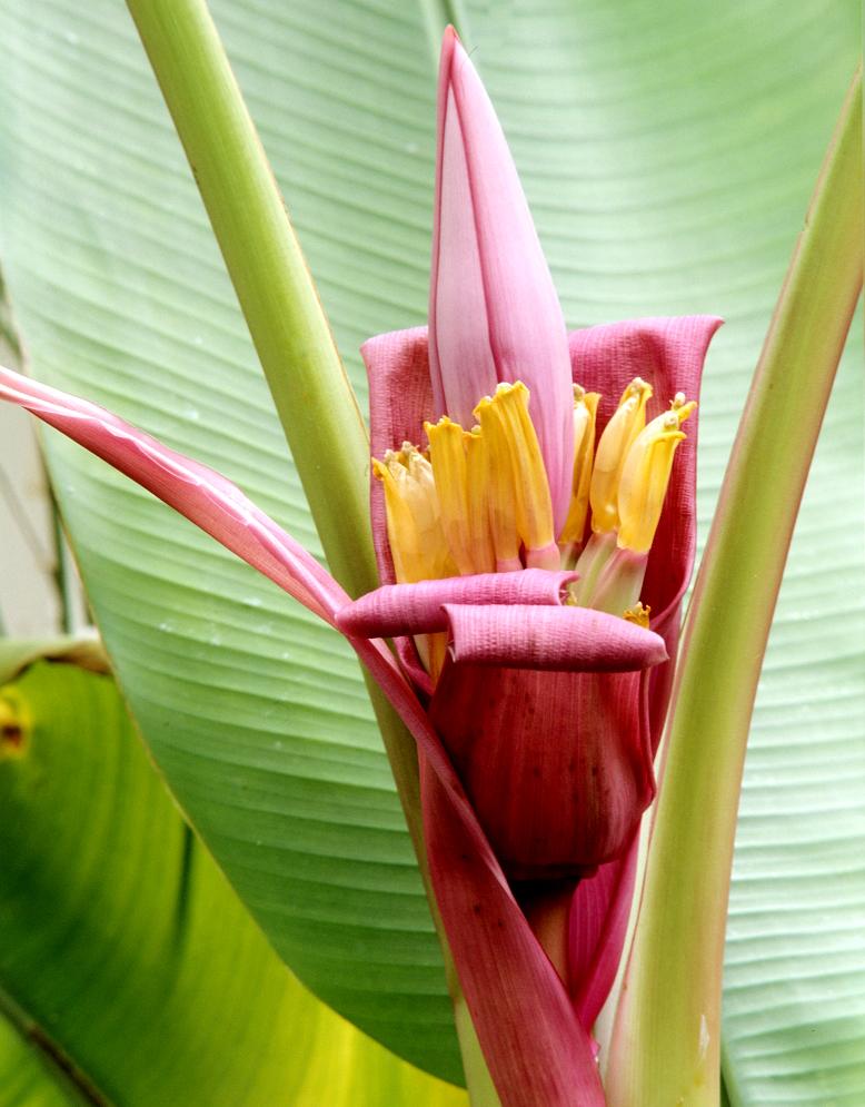 Bananier planter et tailler ooreka for Achat de plantes par correspondance