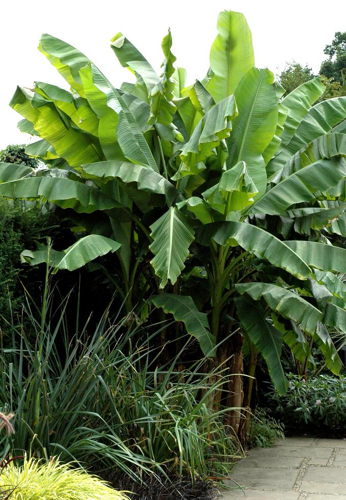 Bananier Planter Et Tailler Ooreka