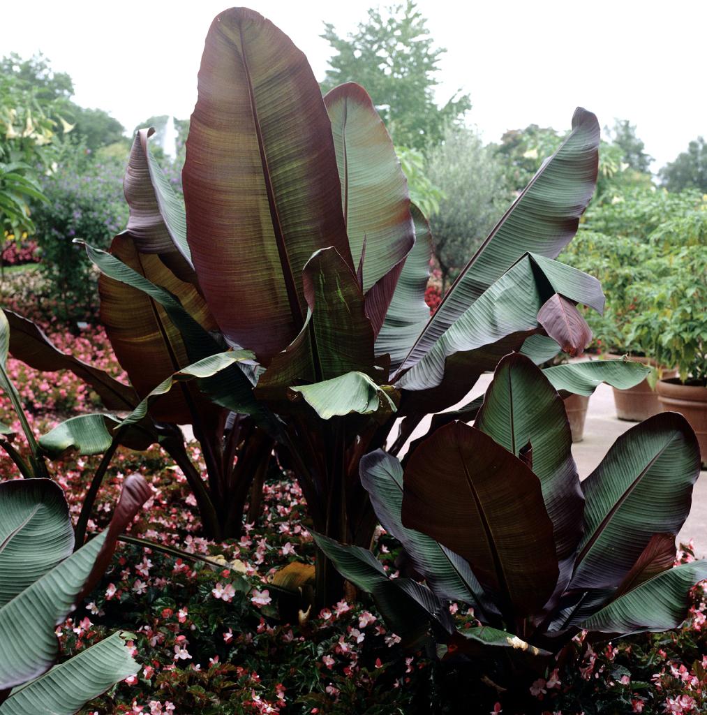 bananier : planter et tailler – ooreka