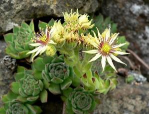 Plantation de la joubarbe (<em>Sempervivum</em>)