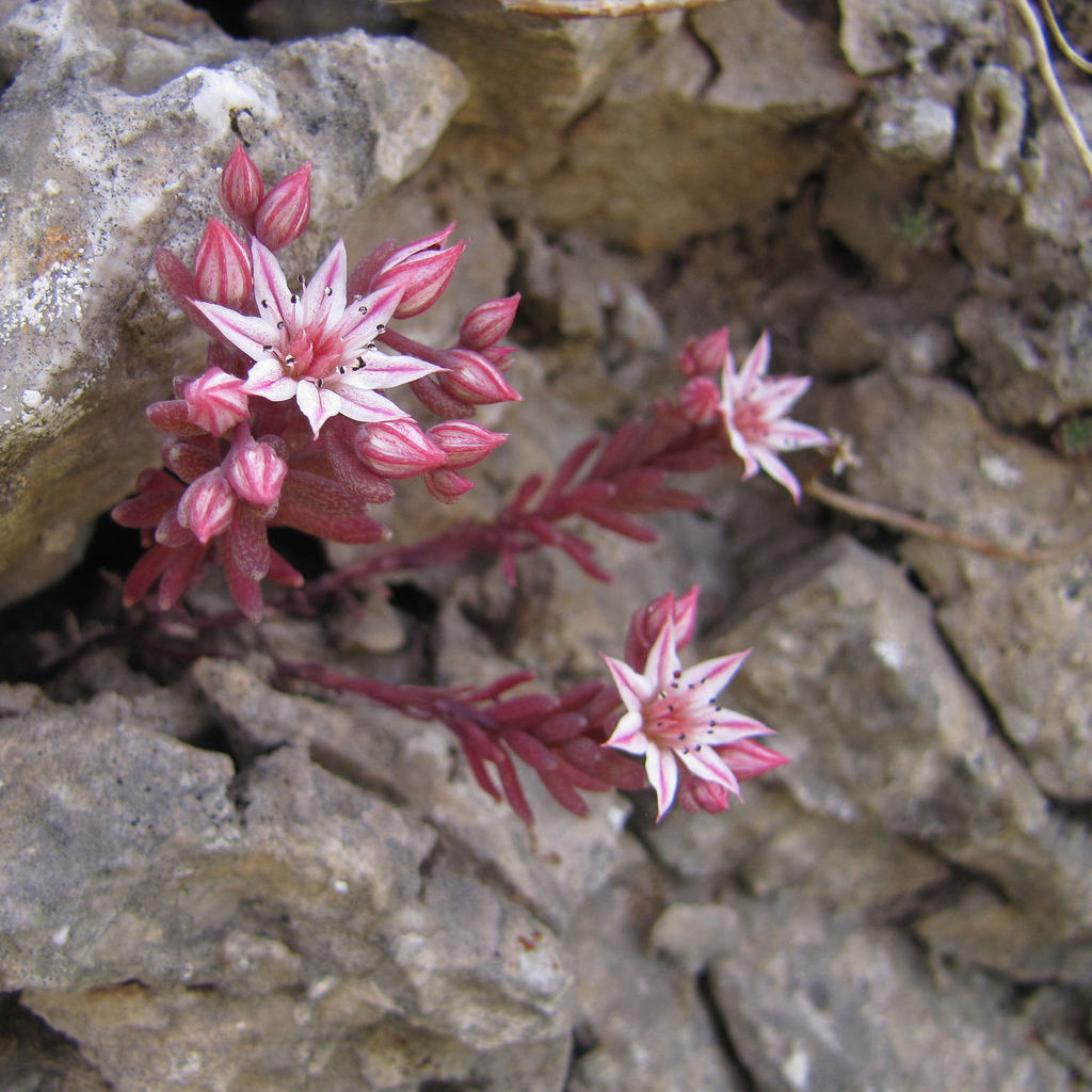 Sempervivum montanum Espèce type