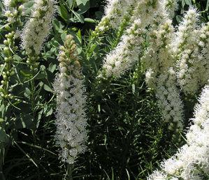 Semis et plantation de <em>Liatris spicata</em>