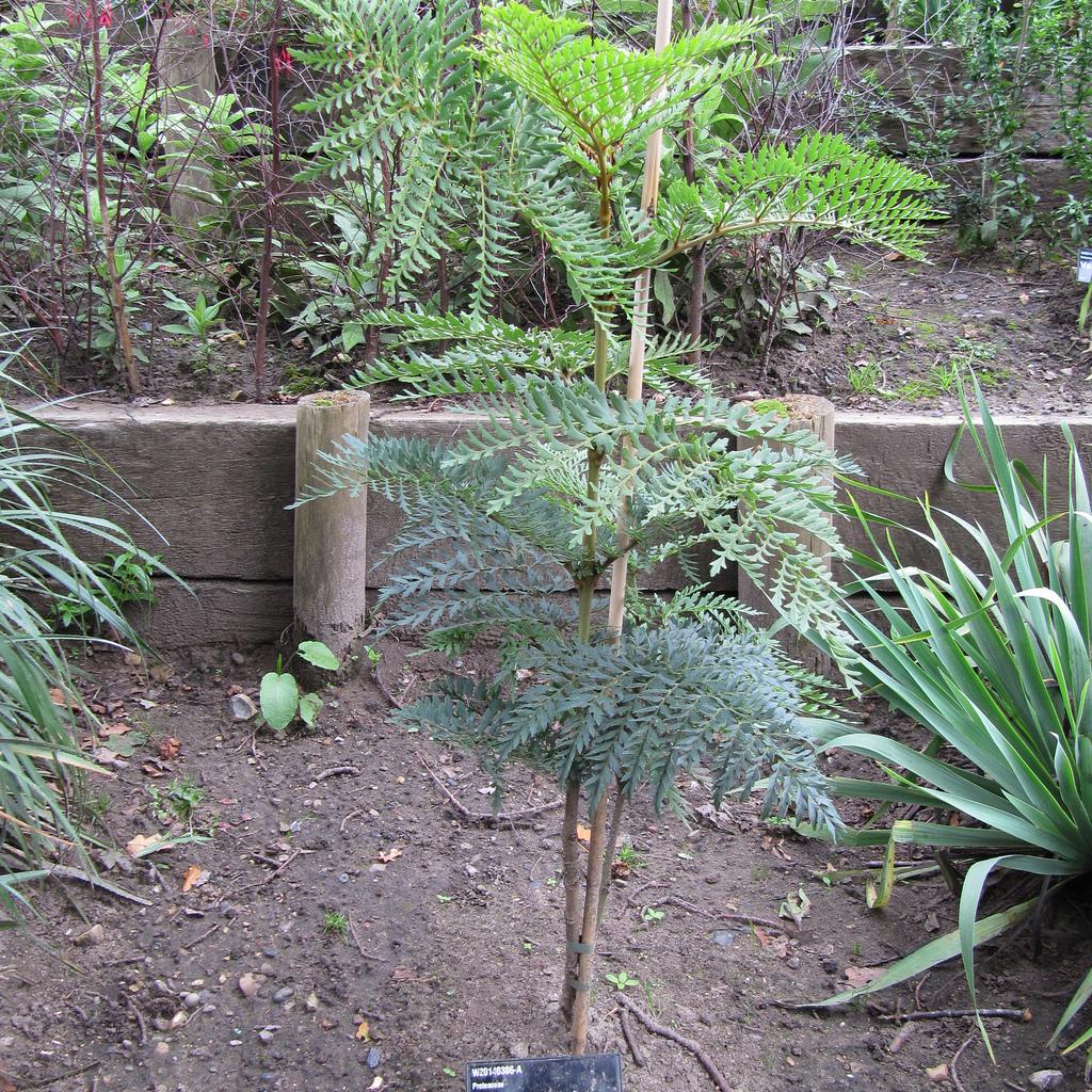 Lomatia rouille (Lomatia ferruginea)