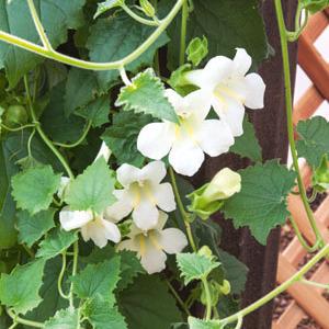 Lophospermum planter et cultiver ooreka for Plante lumineuse