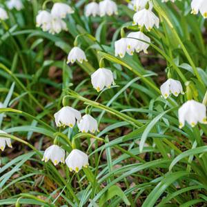 Nivéole de printemps (Acis vernum) Espèce type