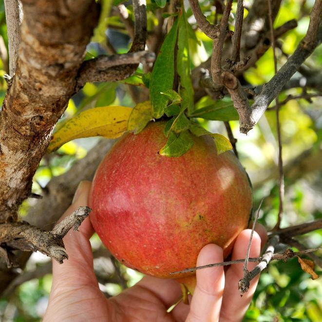 Variétés à fruits 'Mollar de Elche'