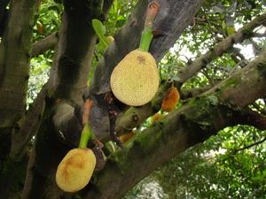 Culture et entretien de l'arbre à pain