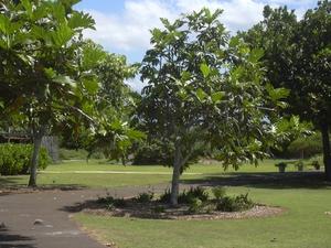 Plantation de l'arbre à pain