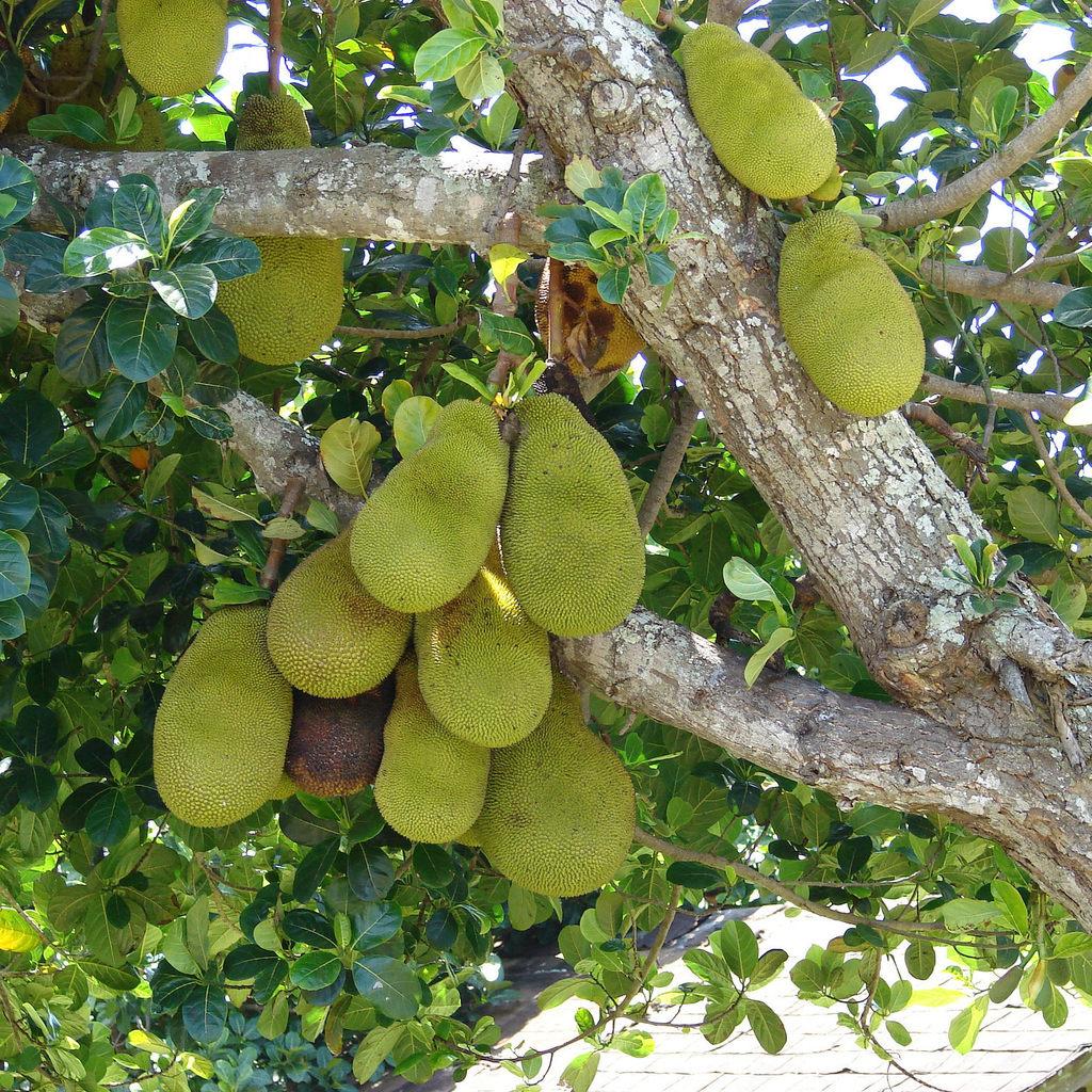 Jaquier (Artocarpus heterophyllus)