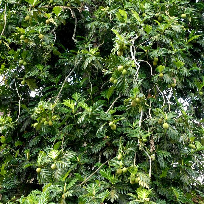 Artocarpus altilis var. seminifera
