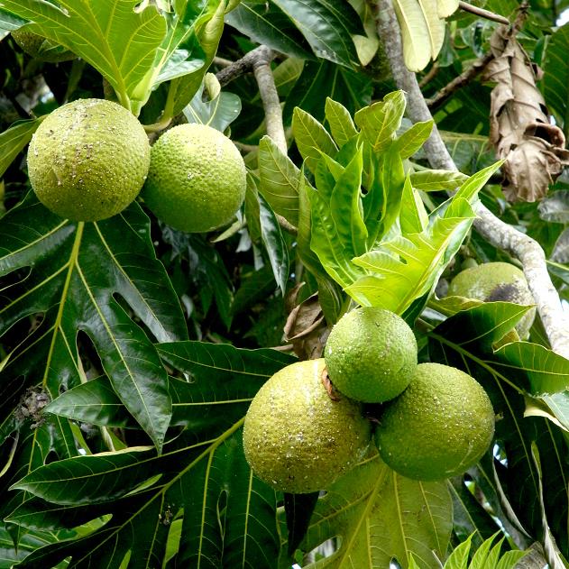Artocarpus altilis var. non seminifera