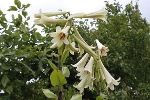 Plantation du <em>Cardiocrinum giganteum</em>