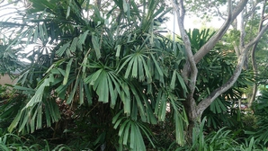 Plantation de <em>Licuala</em>