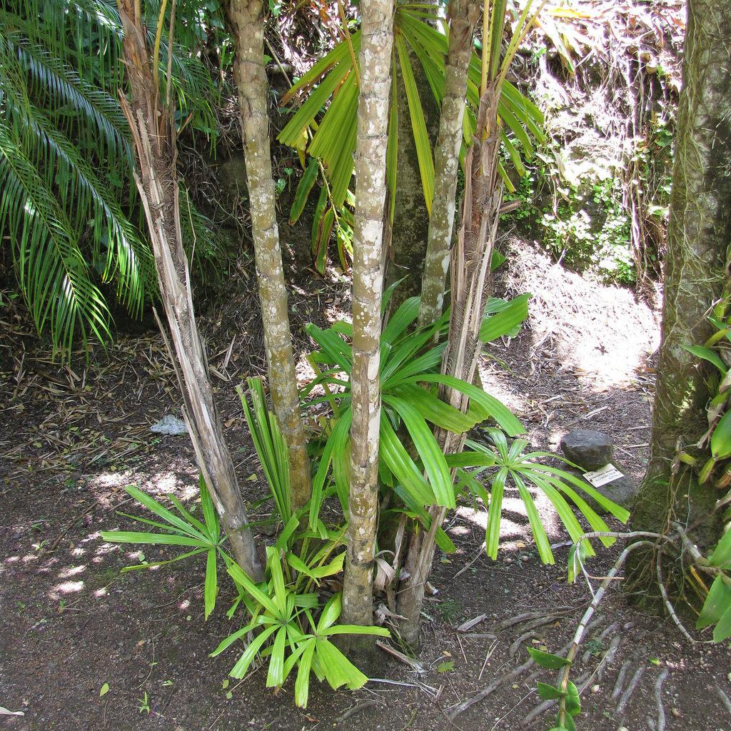 Licuale épineuse (Licuala spinosa)