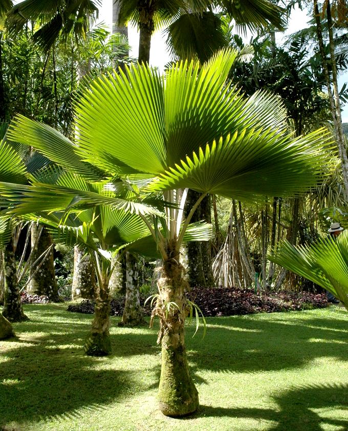 Licuala planter et entretenir ooreka for Maladie palmier interieur