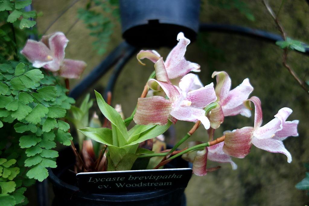 Lycaste planter et entretenir ooreka for Entretenir une orchidee en pot