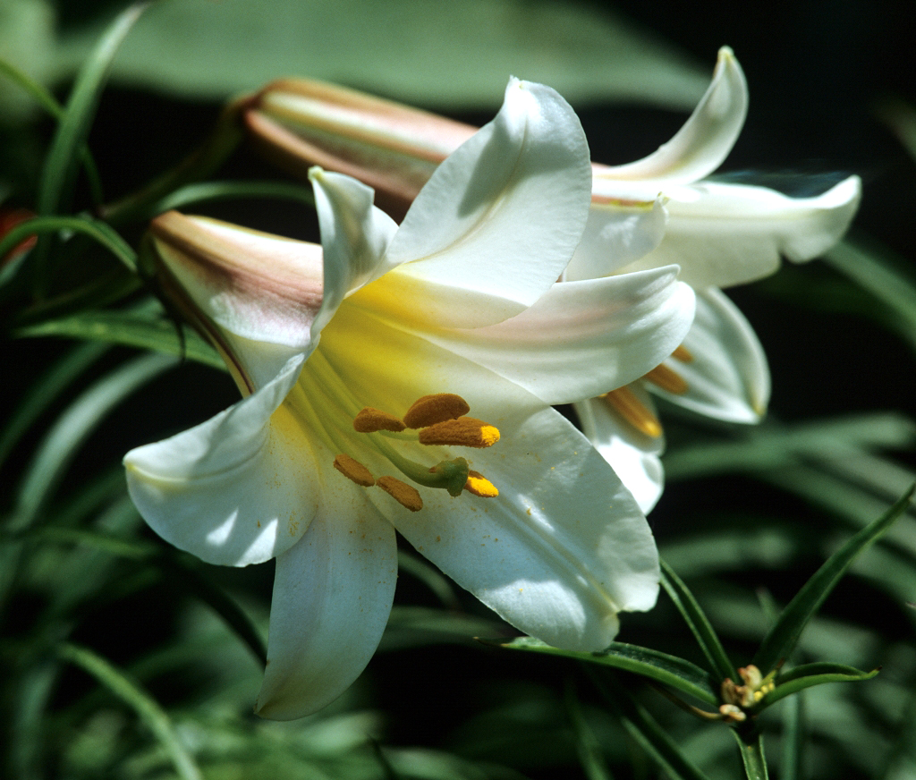 Faut Il Couper Les Lys Après Floraison lis : planter et cultiver – ooreka