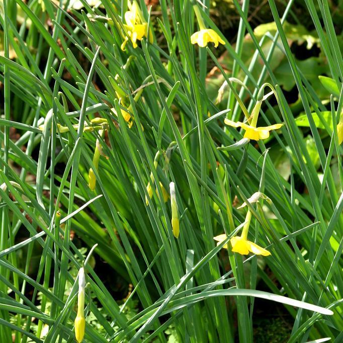 Fleurs en turban Lys martagon (Lilium martagon)