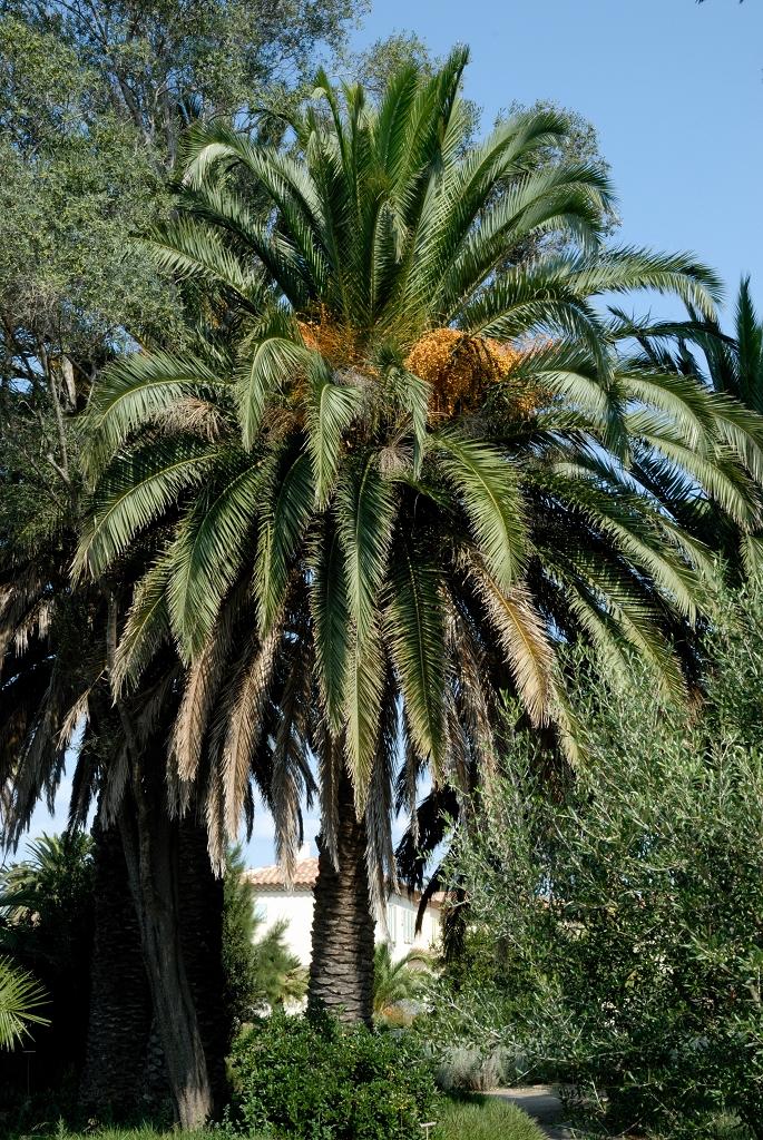 Phoenix canariensis planter et cultiver ooreka - Racine d un palmier ...