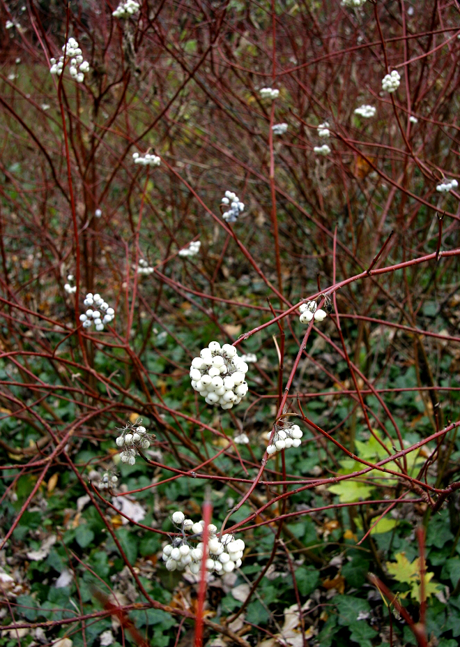Cornus sericea planter et tailler ooreka for Plante lacustre