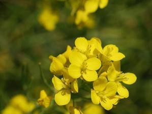 Culture et entretien de la moutarde