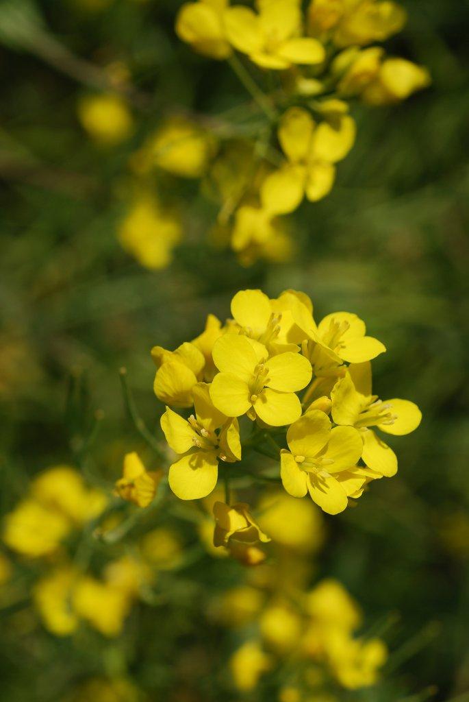 moutarde   semer et planter  u2013 ooreka