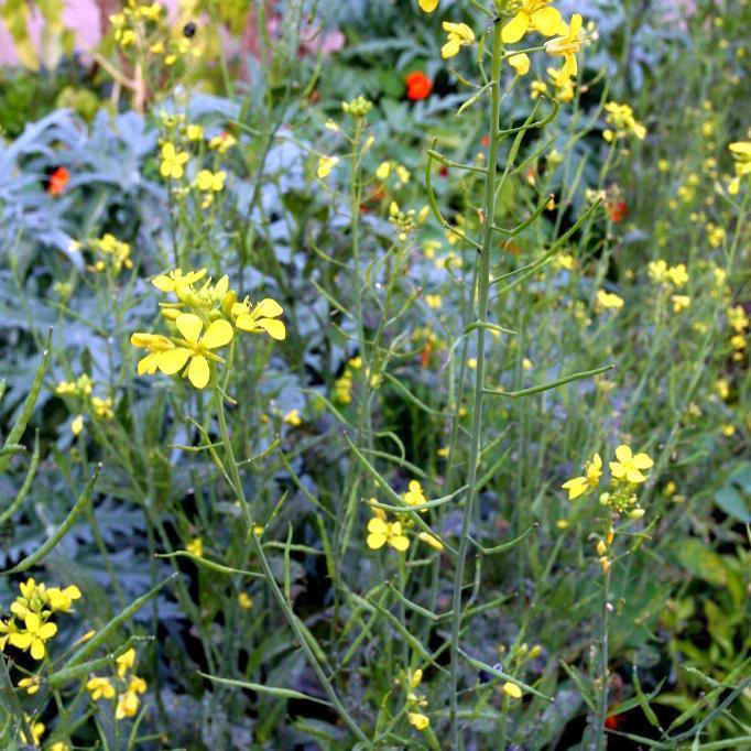 Annuelle Moutarde des champs (Sinapis arvensis)