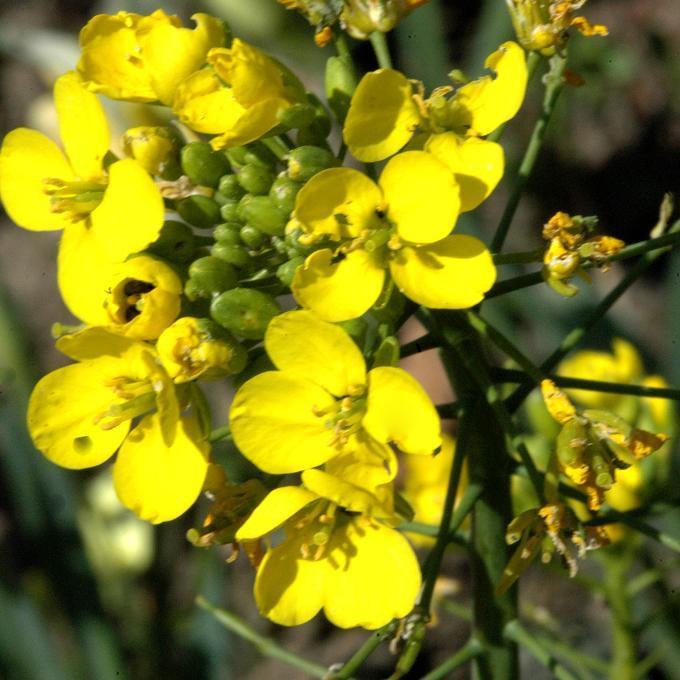 Annuelle Moutarde noire (Brassica nigra)