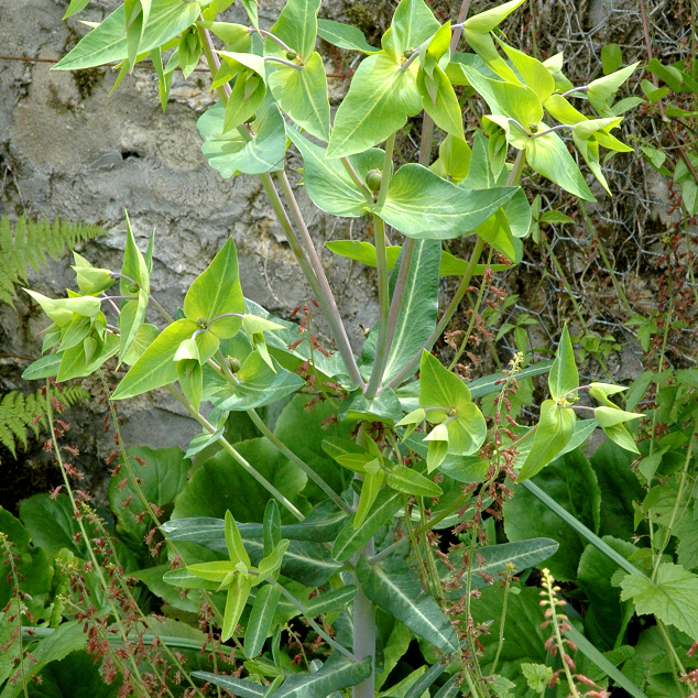 Herbe à taupe, euphorbe épurge (Euphorbia lathyris)